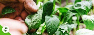 antracnosi malattia piante