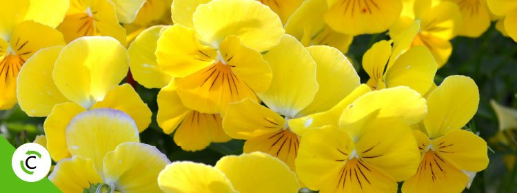 fiori gialli da giardino